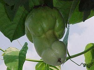 домат зелен