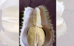 durian-penis